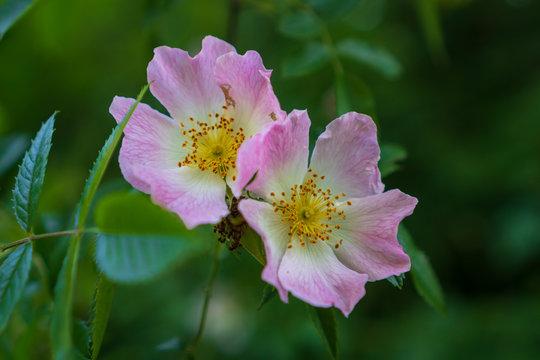 Closeup of two pink wild dog rose flowers (Rosa Canina). Irish midsummer wildflowers.