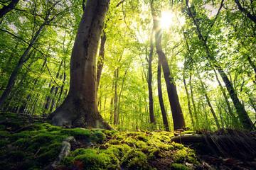 Tuinposter Weg in bos Lebensraum Wald - Sonnenschein im Harzer Buchenwald