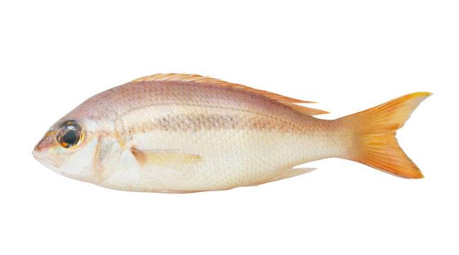 Brownstripe snapper fish isolated on white background, Lutjanus vitta