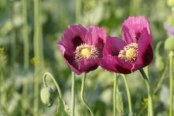 Two pink opium poppy flowers