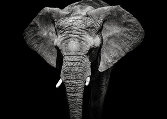 Monochrome portrait elephant Wall mural