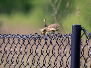 Two yellowhammers sitting on fence