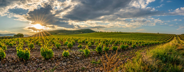 Panoramic view of a vineyard in Spain during a summer day sunrise - Image