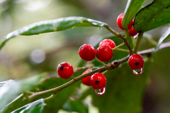 A close up cluster of bright red holly berries dripping with rain water with green leaves.