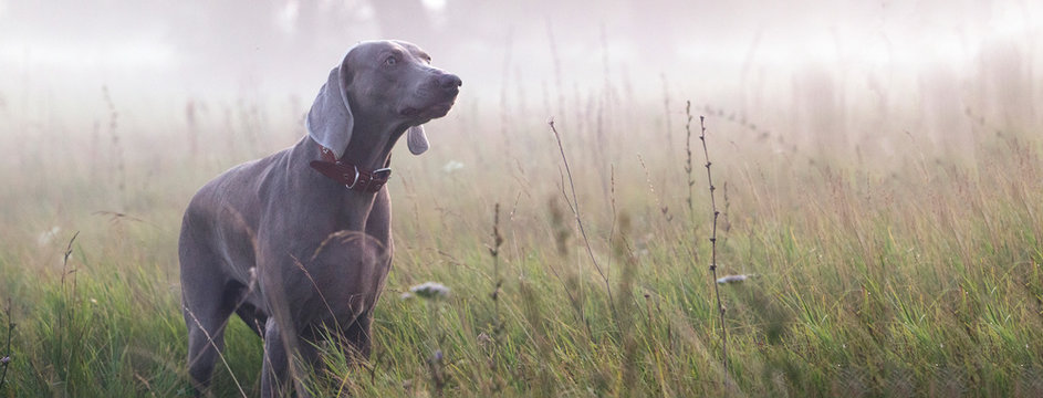 Purebred  dog outdoors in the nature.