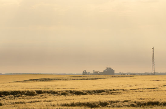 Wheat harvest destroyed by a thunderstorm. Morning summer landscape
