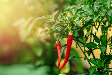 Zelfklevend Fotobehang Hot chili peppers Red chili pepper grows on green branch, plantation of vegetables in greenhouse