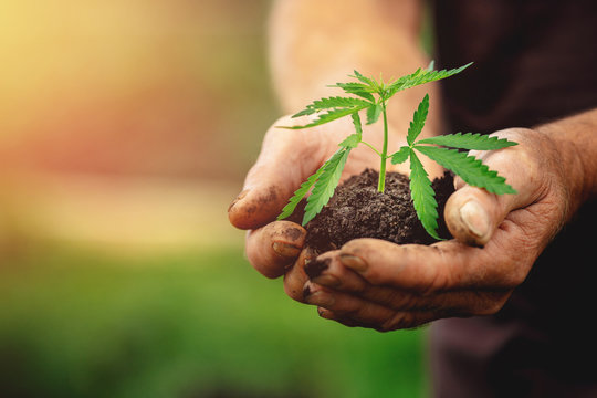 Farmer hands holds baby cannabis plant. Concept farm marijuana plantation