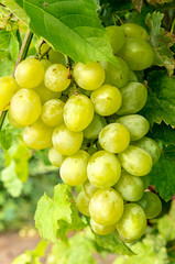 Bunch of grapes hanging from the vineyard
