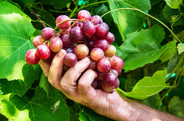 Red grape on hand