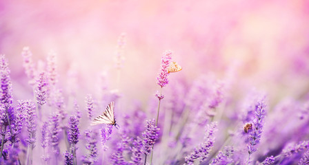 Tuinposter Lavendel Banner purple lavender field with butterflies and bees at sunset. Copy space