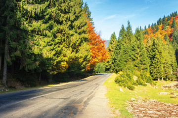 road through forest in autumn colors. beautiful nature sunny scenery in afternoon. clear bright blue sky. mixed forestry with spruce and beech trees