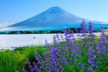 Aluminium Prints Green lavender flower field in the garden beside fuji mountain ,Japan