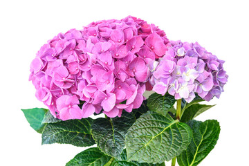 Pink purple hydrangea flower in flower pot on white background