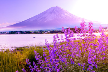 Wall Murals Purple lavender flower field in the garden beside fuji mountain ,Japan