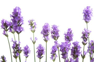 Wall Murals Lavender fleurs de lavande sur fond blanc