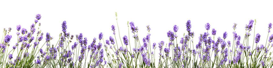Wall Murals Lavender bannière avec des fleurs de lavande sur fond blanc