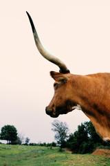 Fototapete - Texas longhorn cow with large horns on farm, vertical portrait image.