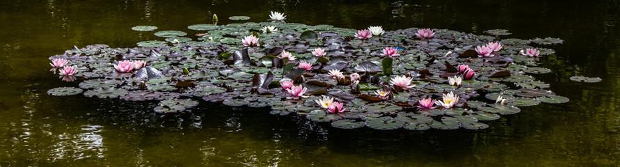 Wall Murals Water lilies Seerosenteich