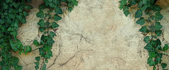 Obraz ivy leaves on old grunge stone wall. green leaf plant over grunge wall background. Natural summer abstract background. copy space. - fototapety do salonu