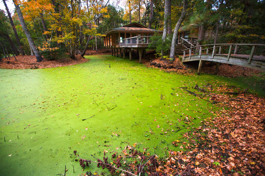 The green ponds surrounding the nature center and administrative building at the Nags Head Woods Preserve. Commonly confused with algae, the green color is actually the work of a small-leafed 1-2 cm aquatic plant called duckweed (Lemna) that thrives on a variety of freshwater ponds throughout the preserve.
