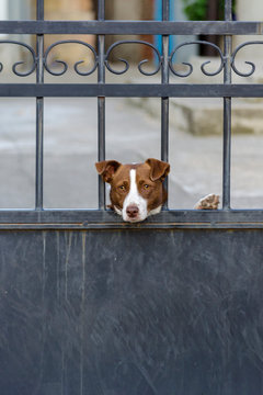 Dog is guarding house and looking at the passersby. Cute hound behind metal fence is standing at the garden gate and watching into the camera. Pooch with smart sad eyes is waiting for his master