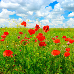 Wall Mural - Bright delicate flowers wild poppies on spring meadow