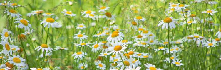 Flowering of daisies in meadow. Chamomile flowers in wild grass field.  Fototapete
