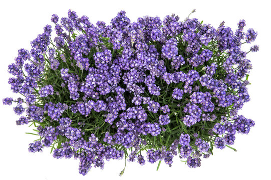 Lavender flowers bouquet white background Top view