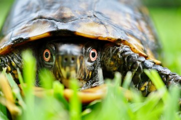 Foto op Plexiglas Schildpad Box turtle close up eyes in grass