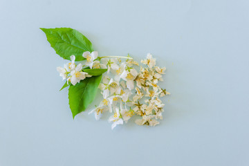 Fresh and dried blossoms of jasmine on blue background