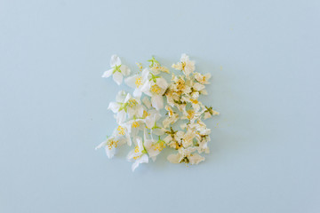 Fresh and dried blossoms of jasmine on blue background background