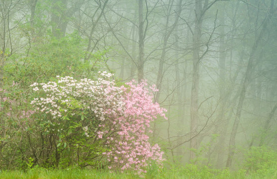 Rhododendron blooming in the fog along the Blue Ridge Parkway south of Asheville, North Carolina