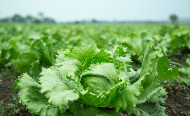 Lactuca sativa, Field of Green Frisee lettuce growing in rows
