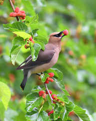 cedar waxing bird eating mulberry fruit on the tree