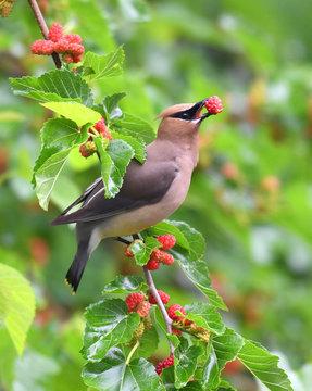 cedar waxing bird eating mulberry fruit on the tree