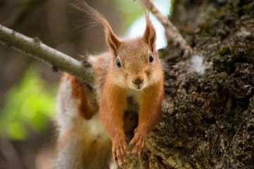 Red squirrel have a rest on the tree