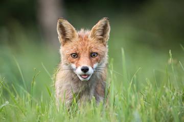 Wild European Red Fox (Vulpes vulpes) amongst the tall grass. Image taken in Slovakia, wildlife.