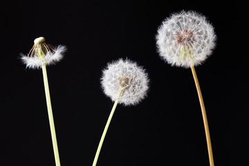 Dandelion clock, close-up, macro - Image .