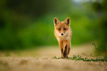 Red fox cub , Vulpes Vulpes
