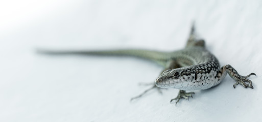 Macro picture of a Lizard