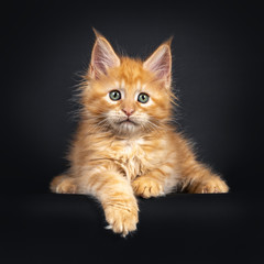 Wall Mural - Sweet little red Maine Coon cat kitten, laying down facing front. Looking beside lens with mesmerizing eyes. Isolated on black background.e