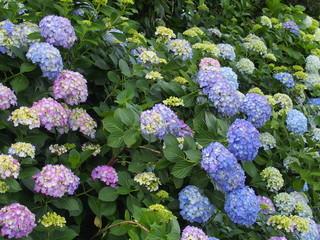 Fond de hotte en verre imprimé Hortensia 満開の紫陽花