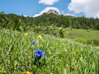 Enzian blüht in den Alpen