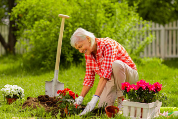 Aged grey-haired woman smiling after planting nice red flowers