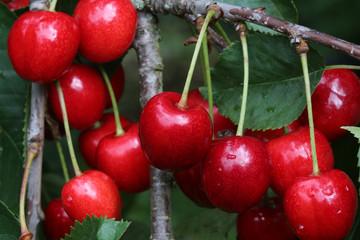 Reife Kirschen am Baum