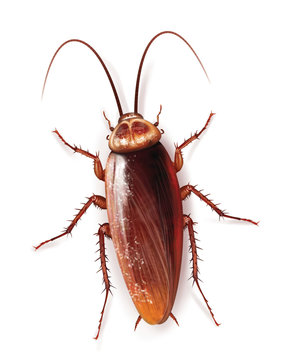 cockroach insect in home kitchen domestic