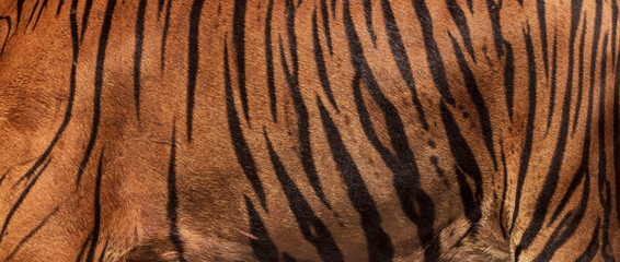 Picture of a large real tiger skin.