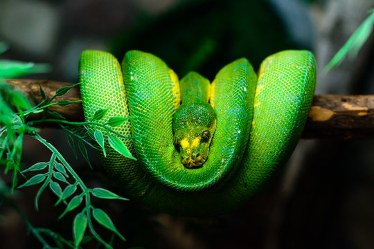 green snake hanging on a tree branch close up