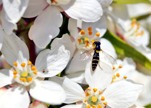 Hoverfly, flower fly or syrphid fly on a white-flowered flower, Choisya ternata. Hover fly feeding on a flower Choisya ternata (Aztec Pearl)